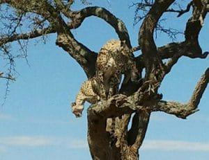 נמר על עץ